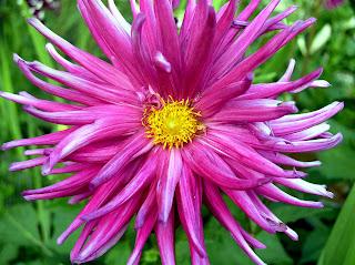 Bright Pink Spider Dahlia