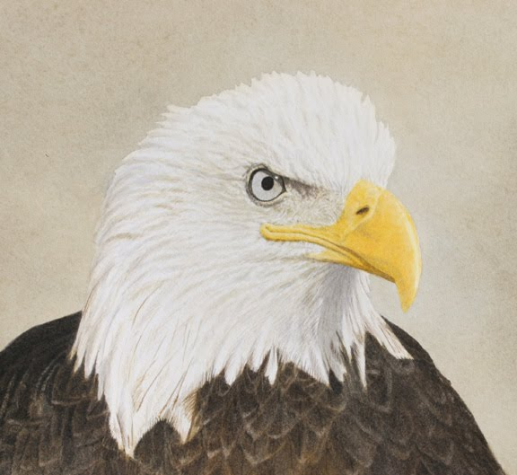 evolution of bald eagles The american bald eagle was adopted as the national bird symbol of the united states of america but farmers considered bald eagles vermin and shot them on sight.