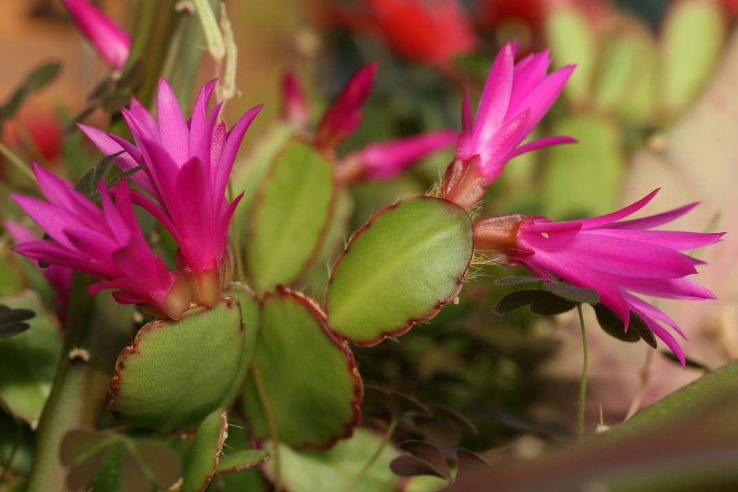 Notas de campo y jard n cactus de pascua for Cactus variedades fotos