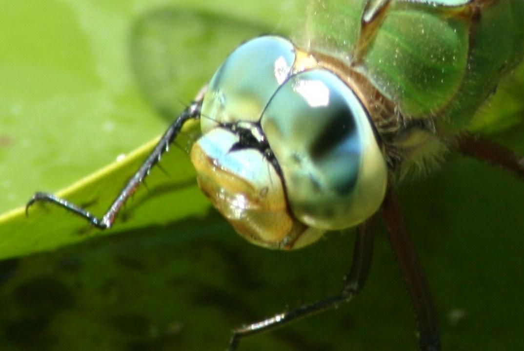 Notas de campo y jardín: Los ojos compuestos de los insectos