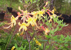 Native Azalea Special FREE SHIPPING!