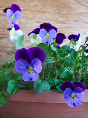 Violas by the kitchen