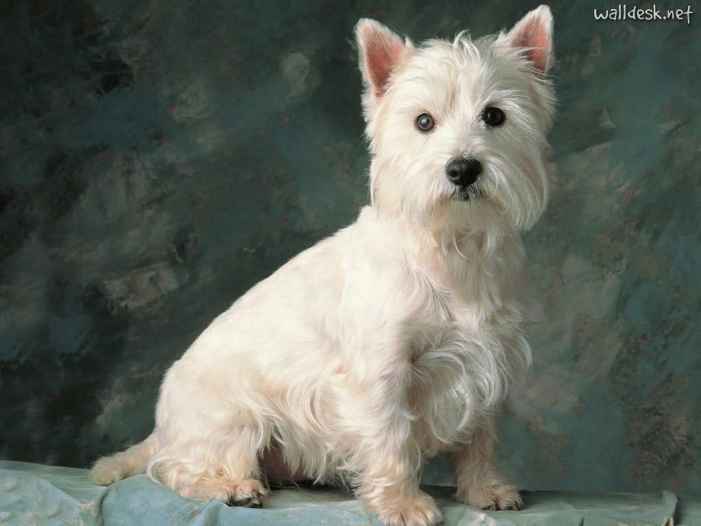 cairn terrier wallpaper