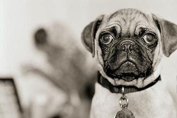 7 Ras Anjing Tercantik Yang Ada Di Dunia