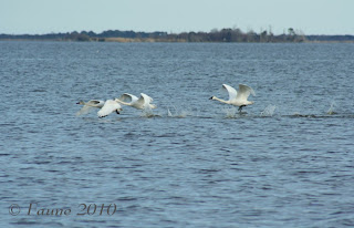 Swans Currituck Sound