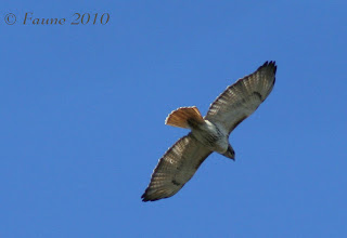 Red tailed Hawk Currituck