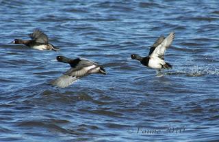 Bluebills Currituck Sound