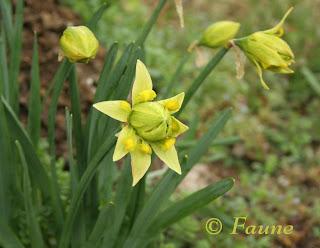 Daffodils Currituck