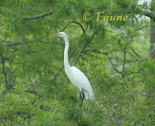 Egret in a Juniper