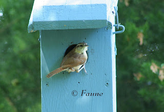 Nesting Carolina Wren