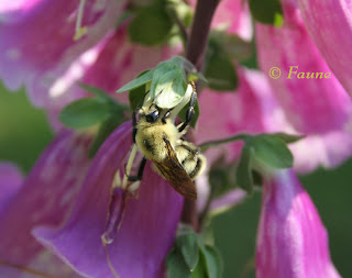 Bumble Bee on Foxglove