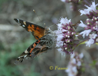 Painted Lady on Oregano Bloom