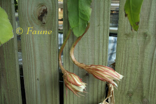 Night Blooming Cereus buds on leaf