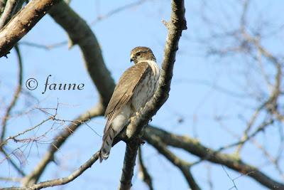 Sharp Shinned Hawk in the Garden