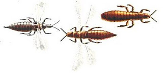 Thrips, a closer look. Pic Wikipedia