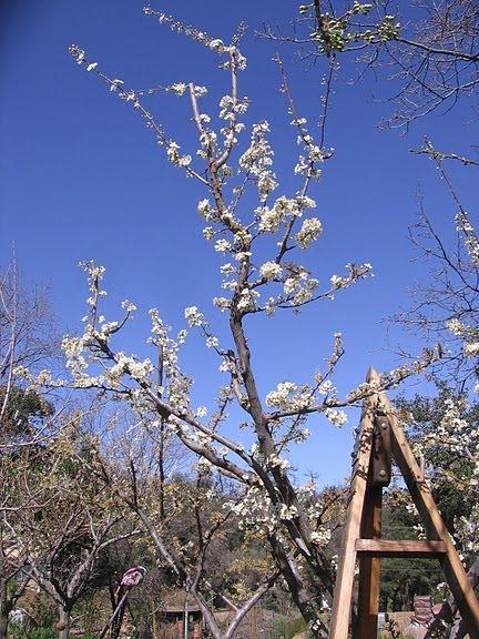 March 18, 2010, Burgundy Plum Full Bloom