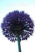 "Allium ""Gladiator"""