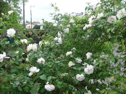 Ma plan te jardin rosier mme alfred carri re g n reux et - Rosier grimpant sans epine ...