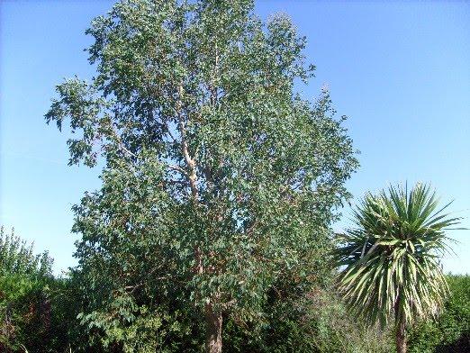 Ma Plan Te Jardin L 39 Eucalyptus Gunnii Un Arbre Exotique