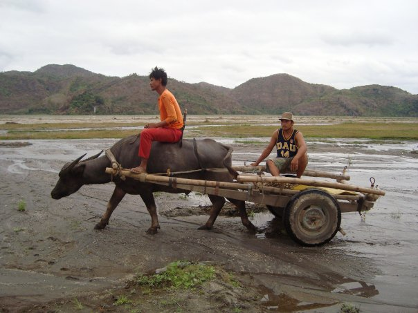 carabao+work - Carabao Pictures - Photos Unlimited