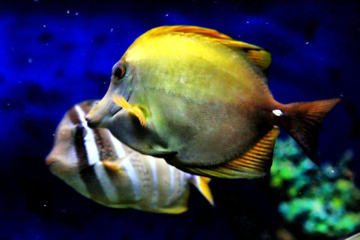 Sailfin tang fish for Tang saltwater fish