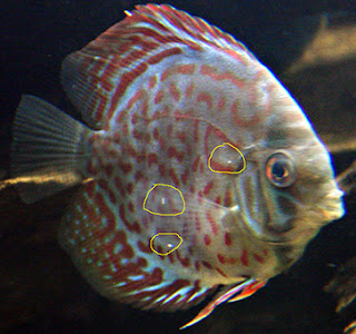 Cure Discus Fish Diseases