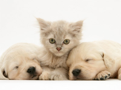 cute puppies and kittens together wallpaper