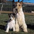 chien fox terrier