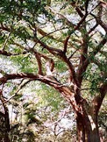 Philippines National Tree