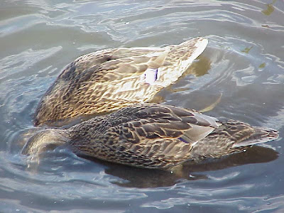 Duck+Water+Head+Hide+1