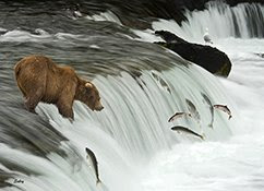 Salmon+migration
