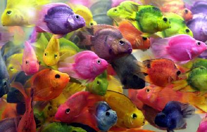 cotas los peces de colores