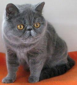Yuk! Lihat Kontes Kucing Tingkat Internasional