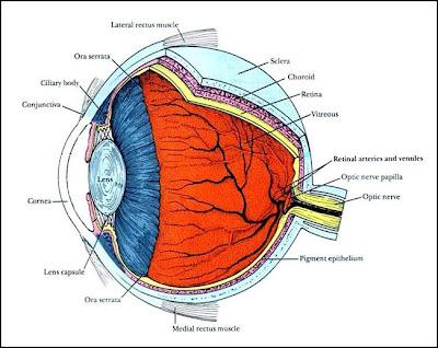 bulbo ocular