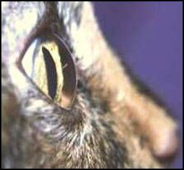 olho felino