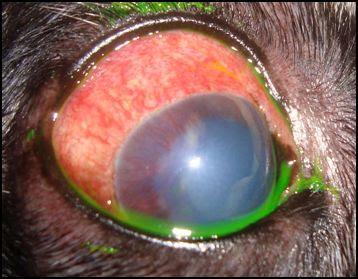 Cão com sinais de uveíte e glaucoma