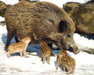 img of Wildschwein and cute baby boars