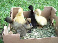 Baby Ducks 2010