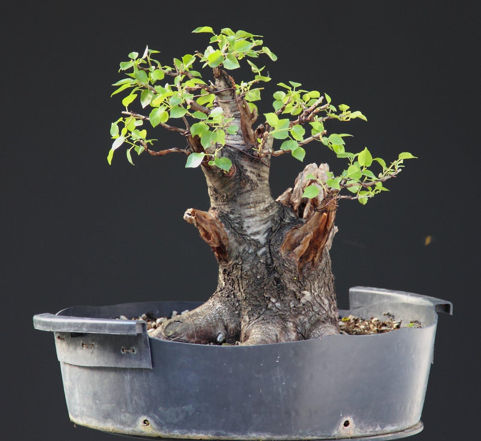 SandevBonsai Fat Prunus First Wireing