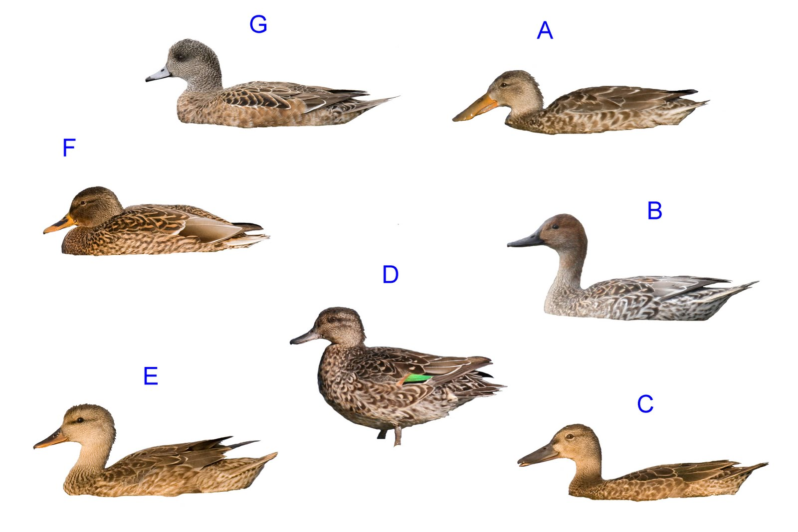 dabbling duck silhouette quiz answers pacific nw birder