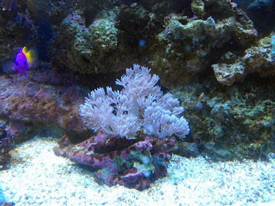 Pulsing Xenia | Pulse Coral