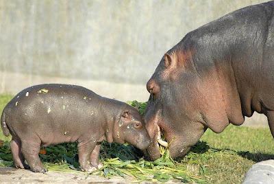 Amor de madre. - Página 2 Mama+hipopotamo+y+bebe