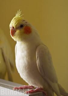 papagal pui nimfa