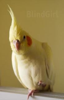 papagal femela nimfa