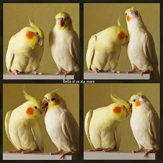 lutino cockatiels