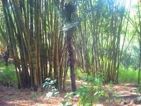 Bambu adalah harta bagi orang Bajawa
