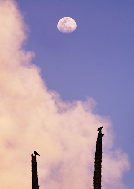 Moon , birds and areca palm tree picture