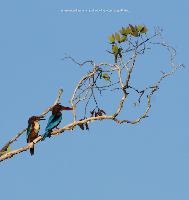Romantic Kingfishers on a tree branch