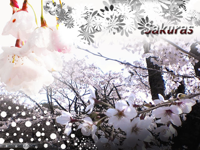 sakuras wallpaper - flowers