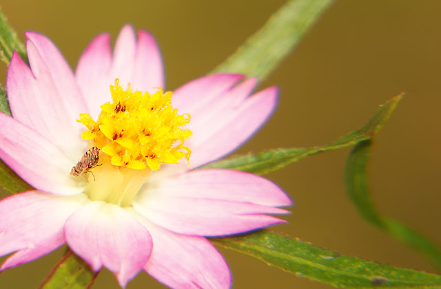 pink daisy picture